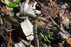 Ribbon Snake (S_Crews) Tags: louisiana reptile snake herp basking baratariapreserve thamnophis jeffersonparish squamate westernribbonsnake thamnophisproximus thamnophisproximusorarius gulfcoastribbonsnake jeanlafittenationalhistoricparkandpreserve