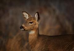 Faline (kathybaca) Tags: ocean winter ny nature animal mammal us pretty wildlife doe longisland deer fawn preserve survive whitetaildeer hoofed