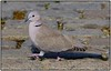 Eurasian collared dove going places