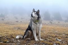 rrrrrr (aaronman5) Tags: malamute alaskan nordico
