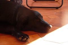 Beddy-bye (DanielOssino_EducatoreCinofilo) Tags: dog cute love dogs cane puppy room bart class tired amore nanna cucciolo stanza cani cuccioli puppyclass tenero stanco beddybye