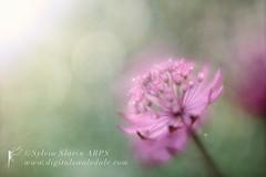 Reaching for the Sun (Sylvia Slavin ARPS (woodelf)) Tags: pink flower sunshine lensbaby garden focus soft poetry poem haiku bokeh orchard velvet flare