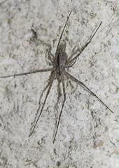 Hersiliidae  probably Tamopsis fickerti (Allan Lance) Tags: bordertown southaustralia ajl hersiliidae tamopsis twintailspider