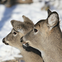 Buddies In Profile (Cindy's Here) Tags: winter 2 snow ontario canada canon deer explore squareformat heads 116 thunderbay missionisland studio26squareformat