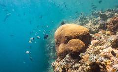 The Big Drop Off (Warriorwriter) Tags: ocean sea fish water coral swimming colorful underwater diving reef palau pw oceania koror rockislands