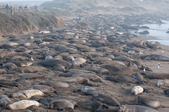 Elephant Seal haul out (SBGrad) Tags: california animal mammal nikon nikkor elephantseal 2016 alr miroungaangustirostris 80200mmf28dafs d300s camera:make=nikoncorporation exif:make=nikoncorporation exif:lens=8002000mmf28 camera:model=nikond300s exif:model=nikond300s exif:aperture=ƒ56 exif:focallength=80mm exif:isospeed=200