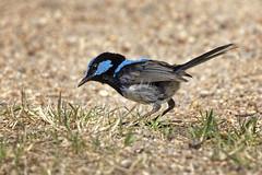 Superb Fairywren 2015-12-23 (_MG_7138) (ajhaysom) Tags: australia melbourne australianbirds greenvale superbfairywren maluruscyaneus canoneos60d woodlandshomestead sigma150600 woodlandshistoricpark