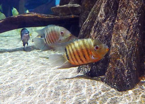 Greater Cleveland Aquarium 01-22-2015 - Unknown Fish 15