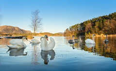 ˙·٠•● Graceful ●•٠·˙ (Ranveig Marie Photography) Tags: swan bird reflection swans birds svaner lutsi lutsivatnet lutsivannet sandnes jæren norge norway rogaland wild norwegian waterbird nordisk lake beauty beautiful svane cygnus norwegen muteswan water knopsvane schwan höckerschwan knópsvanur cygnetuberculé cygnemuet knölsvan nature natur wildlife friluft images pictures photos ranveigmarienesse ranveignesse pics photographs visitnorway norvege noruega norsk outdoors tree mountain storaberget bluesky blueskies lakescape vann norvège bilder sigmaart sigmaart1835mm sigma nikon nikond5200 winter vinter pov explore explored comparison comparisons seasoncomparison seasoncomparisons season seasons still
