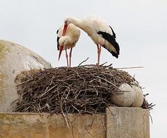 Storks waiting spring (marioprieto) Tags: winter espaa bird nest pareja pair dia invierno pajaro nido stork zamora cigea