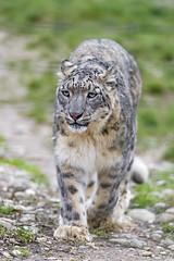 Mayhan walking towards me (Tambako the Jaguar) Tags: wild portrait grass female cat walking zoo switzerland big nikon stones basel snowleopard approaching d4