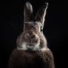 Bunny Portraiture (Jeric Santiago) Tags: pet rabbit bunny animal conejo lapin kaninchen うさぎ 兎 rabbitportrait winterrabbit
