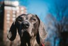 dogtown (VanaTulsi) Tags: dog weimaraner weim blueweimaraner vanatulsi blueweim