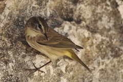89. Small Pale Yellow Bird (5) (mjohns17e) Tags: bird cuba crocodilefarm australiacuba