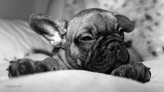 Am Only a Baby (Alan Dingwall) Tags: dog pet love dogs alan puppy french sony bull dingwall