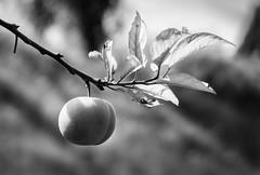 Peach (Jaggy89) Tags: light blackandwhite bw nature beautiful fruit branch bokeh peach leafs