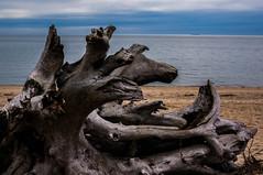 DSC07654 (Comatoriumd420) Tags: ocean driftwood