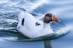 Domestic Goose (lybrand) Tags: water birds us unitedstates lasvegas wildlife nevada sunsetpark domesticgoose