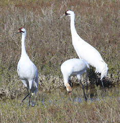 Let's Do Whoopy (ChefeGrande) Tags: bird texas feeding marsh seashore texasstatepark whoopingcrane wintermigration protectedspecie