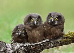 3-baby-owls2 (Zomarieful) Tags: june