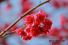 Taiwan Cherry (Whitefox Chen) Tags: sun sunlight flower canon cherry taiwan bee sakura taipei     zhonghe  canon70300mm