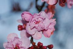 plum_20160213_10 (faeparsons) Tags: flowers blossoms plumblossoms