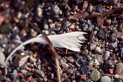 macro of an old feather laying on a beach (Armin Staudt) Tags: old macro bird abandoned beach nature wet water stone closeup lost one sand outdoor background feather blurred nobody dirt pebble single weathered algae textured