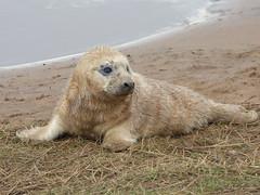Grey seal (Peanut1371) Tags: mammal seal greyseal donnanook nationalgeographicwildlife