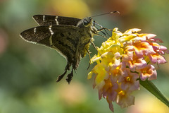 Teleus Longtail on Lantana (PriscillaBurcher) Tags: hesperiidae pyrginae teleuslongtail urbanusteleus mariposasdecolombia butterfliesfromcolombia l1630722