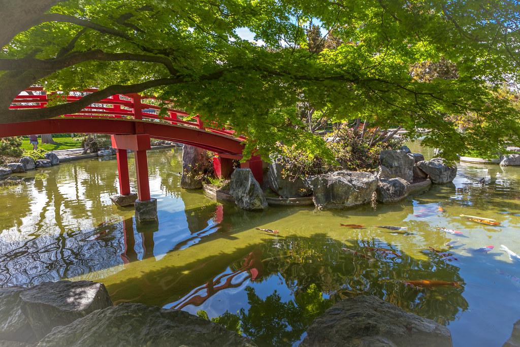 The world 39 s best photos of fish and nishikigoi flickr for Japanese friendship garden san jose koi fish