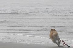 All Photos-9283 (jlh_lunasea) Tags: ocean dog beach romeo manzanita huskador