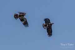 Juvenile Bald Eagle tries to steal away a fish - sequence - 8 of 9