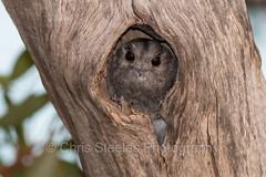 Australian Owlet-nightjar (chrissteeles) Tags: bird nocturnal birding sa southaustralia nightjar australianowletnightjar owletnightjar