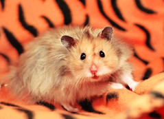 My very cute Muppet ~ Gucio (pyza*) Tags: pet cute animal rodent furry critter fluffy hamster syrian hammie syrianhamster gucio gustaw chomik