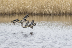 Teal (Paul..A) Tags: duck inflight teal paula eurasian lochleven