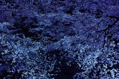 Chidorigafuchi (guen-k) Tags: sigma  cherryblossom sakura  chidorigahuchi fullbloom dp2quattro