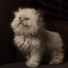 (Sultan alSultan ) Tags: blue light animal animals cat canon photo kitten raw  riyadh babycat     5ds             sultanalsultan