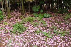 Tree shade (Wunkai) Tags: japan ground  kairakuen   ibarakiken sakurapetals mitoshi