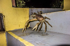 "Land Crab - St Lucia • <a style=""font-size:0.8em;"" href=""http://www.flickr.com/photos/91306238@N04/25870020031/"" target=""_blank"">View on Flickr</a>"