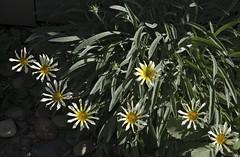 160416 In the garden _DEB0007 copy (debunix) Tags: yellow whoami blossombloomflower