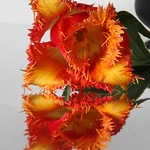 Red/orange tulip with serrated edge and reflection thumbnail