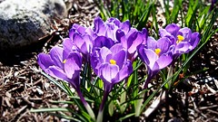 Spring Time (BlueisCoool) Tags: plant flower color nature colors beautiful outdoors photography foot photo spring flickr pretty purple image outdoor massachusetts sony picture violet newengland cybershot crocus bloom capture crocuses plainvillemassachusetts dscw300