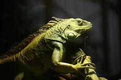 Leguaan (tasj) Tags: zoo ouwehandsdierenpark