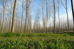 Spring 21/03/2016 (Dado 51) Tags: trees verde primavera spring italiy pioppi pavia poplars