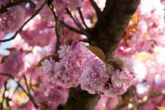pink kitsch (urbanmoments) Tags: pink dream kitsch blüte mainz ritterstrasse zierkirschen