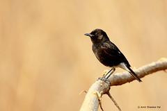 Pied Bushchat Male (Amit Shankar Pal) Tags: bird birds hyderabad amit piedbushchat wwwamitshankarpalcom amitshankarpal