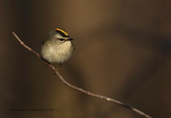 Roitelet à couronne dorée - Golden-crowned Kinglet (Monique Coulombe) Tags: nature quebec wildlife ngc aves québec nationalgeographic naturephotography wildbirds passeriformes québécois birdphotography chordata vertebrata regulussatrapa regulidae wildnature oiseauxmigrateurs birdbokeh photonature avianphotography naturebokeh naturequébec oiseauxduquébec naturecanada naturesauvage oiseauxsauvages québecoiseaux birdinginthewild photographequébécois birdsofquebec birdshare avibase quebecwildlife québecnaturesauvage québecbirds regroupementquébecoiseaux oiseauforestier moniquecoulombe