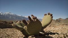 tiny cactus (alanthebox) Tags: camping easternsierras alabamahills lonepineca lumia950