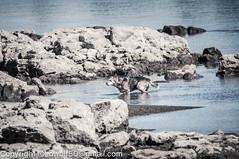 _DSC4803.jpg (orig_lowolf) Tags: usa dog nature oregon nikon flickr lakeoswego turkeyvulture d300s sigma150500mmf563afapodgoshsmtelephotozoom