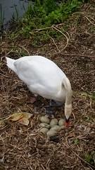8 eggs (Graham Dash) Tags: birds swans muteswans cygnusolor nests 2016pad